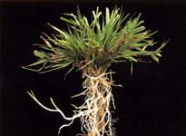 Agrostis Tenuis