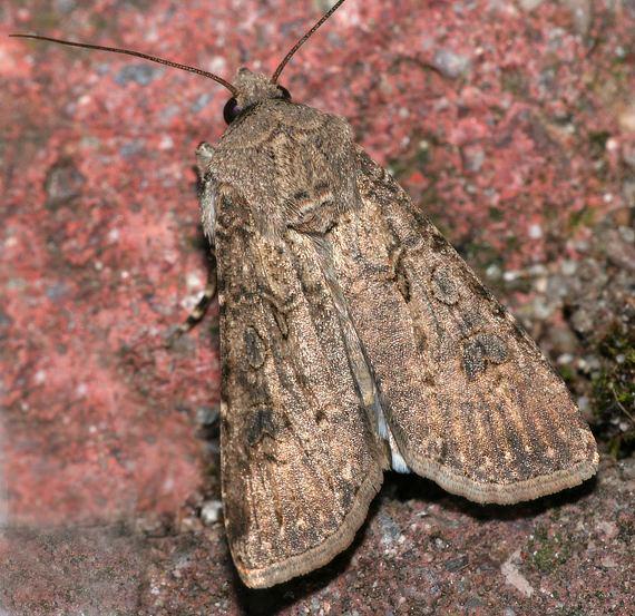 Agrotis Segetum Mariposa