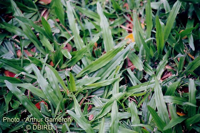 Variedades de c sped tipos de semilla c for Zacate de invierno