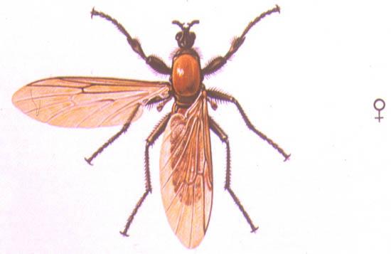 Bibio Hortulanus - Hembra