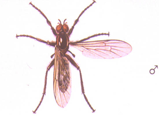 Bibio Hortulanus - Macho