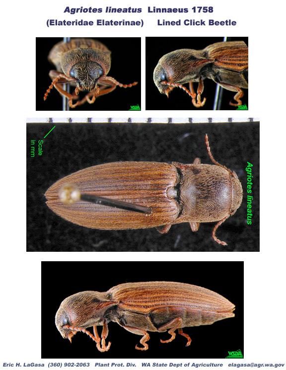 Agriotes Lineatus - Escarabajo
