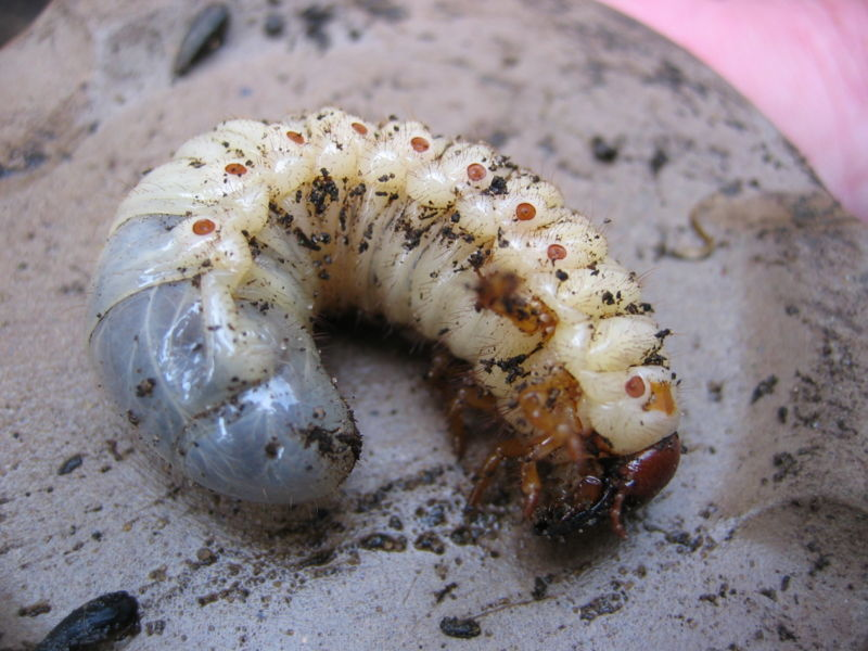 Melolontha melolontha Larva