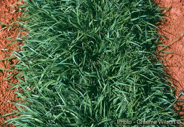 Variedades de c sped tipos de semilla c for Tipos de cesped natural para jardin