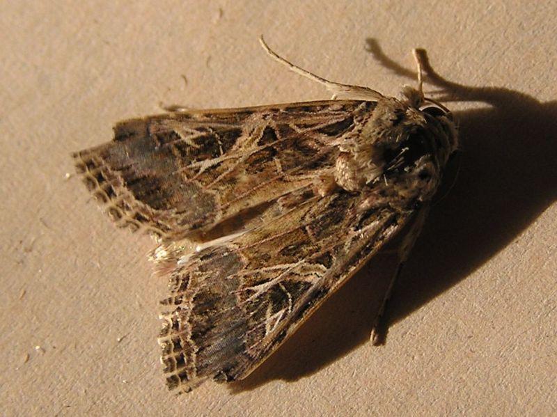 Rosquilla Negra - Spodoptera Littoralis - Mariposa