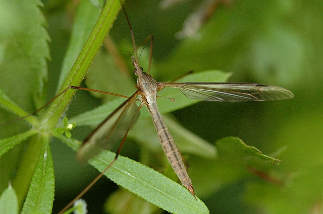 Tipula Oleracea - Mosquito Hembra