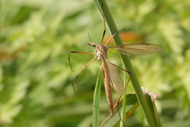 Típula Paludosa - Mosquito Hembra