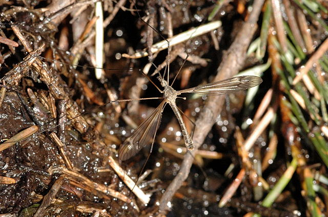 Típula Paludosa - Mosquito Macho